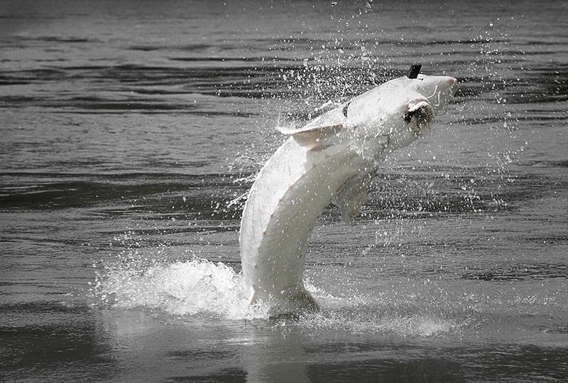 sturgeon fishing fraser river bc