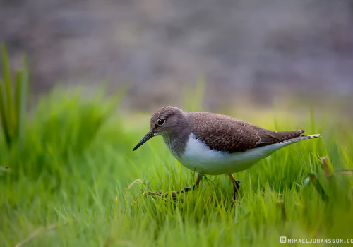 Common Sandpiper / Drillsnäppa / Actitis hypoleucos