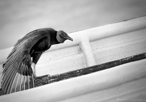 Black vulture / Korpgam / Coragyps atratus