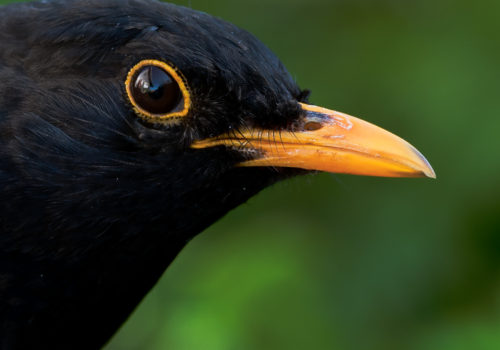 Koltrast / Blackbird / Turdus merula