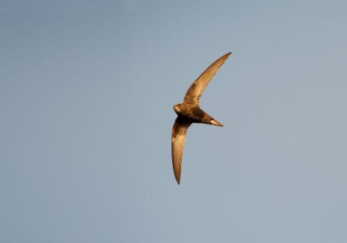 Swift / Tornseglare / Apus apus
