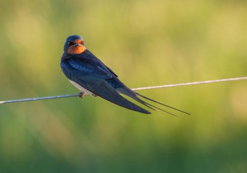 Barn Swallow / Ladusvala / Hirundo rustica