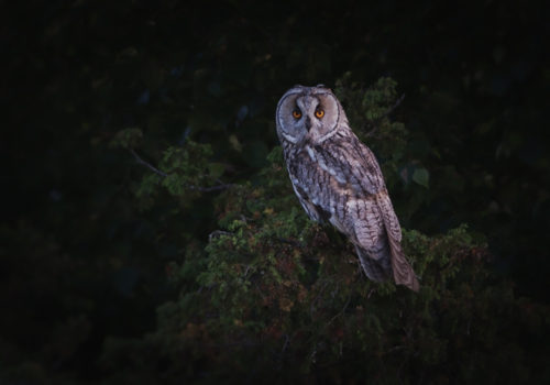 http://mikaeljohansson.com/long-eared-owls/