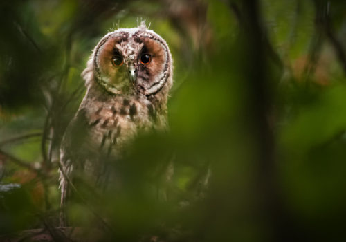 Long-eared owl / Hornuggla / Asio otus