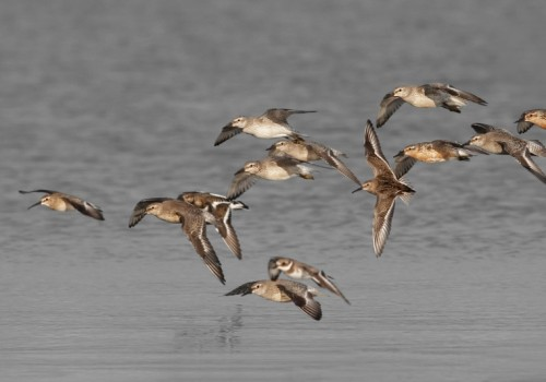 A mix of shorebirds. Curlew Sandpiper, Common Ringed plover, Red Knot, Dunlin