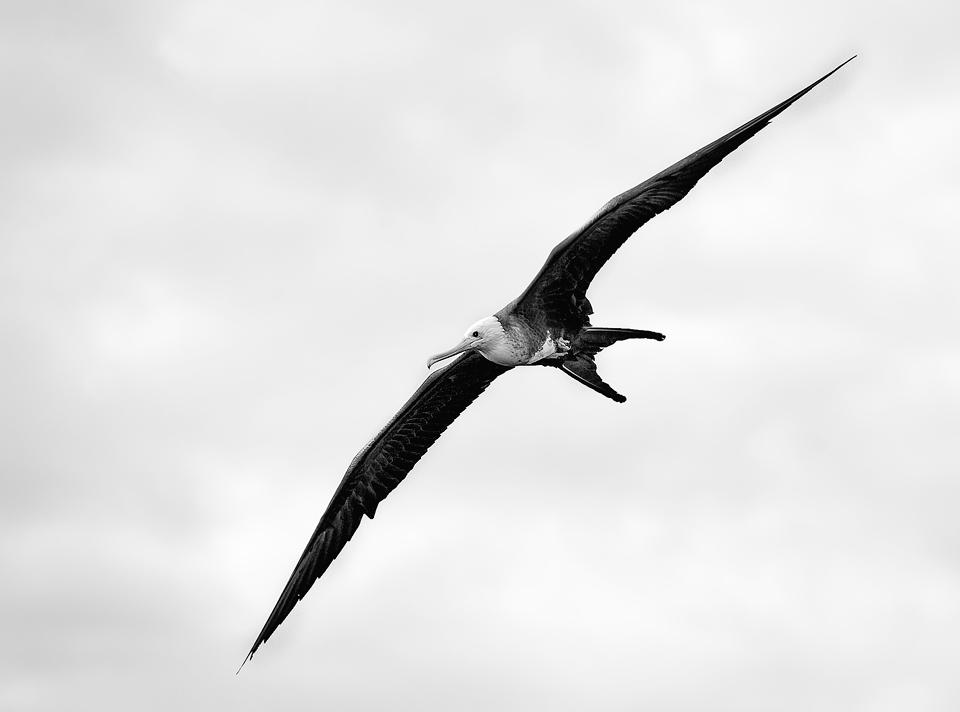 Fregattfågel