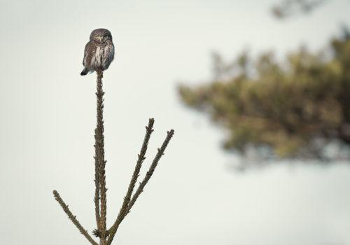 Eurasian pygmy owl / Sparvuggla / Glaucidium passerinum