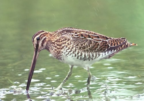 Common Snipe / Enkelbeckasin / Gallinago gallinago
