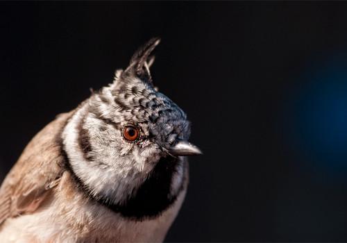 Crested Tit / Tofsmes / Parus cristatus