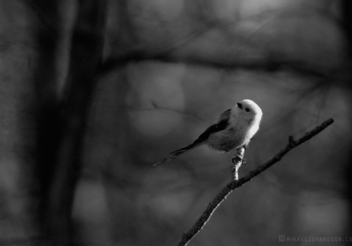 Long-tailed Tit / Stjärtmes / Aegithalos caudatus