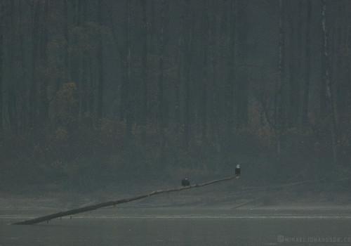 Bald Eagle / Vithövdad havsörn / Haliaeetus leucocephalus