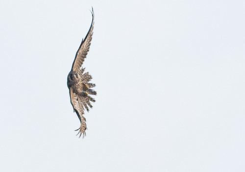 Peregrine Falcon / Pilgrimsfalk / Falco Peregrinus