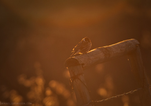 Common Reed Bunting / Sävsparv / Emberiza schoeniclus