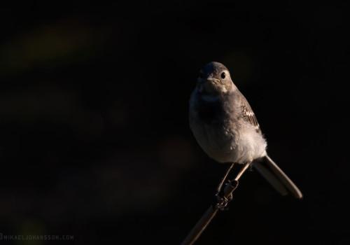 Pied Wagtail / Sädesärla / Motacilla alba