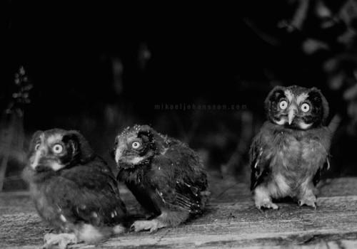 Boreal Owl / Pärluggla / Aegolius funereus