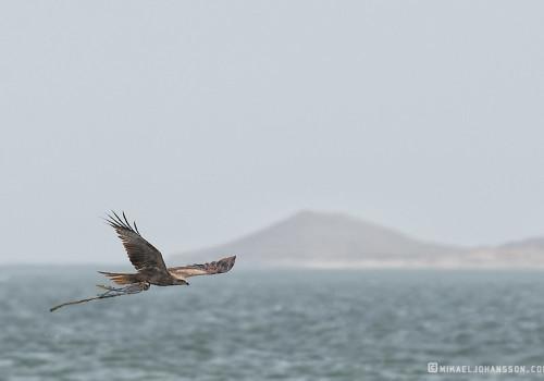 Black Kite / Brun glada / Milvus migrans