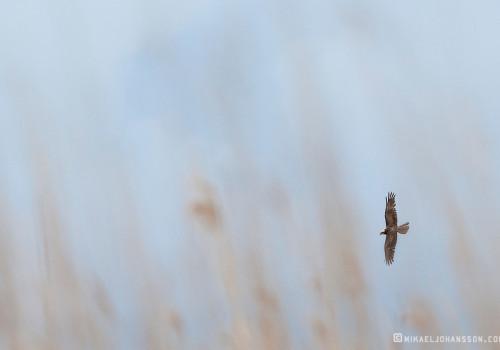 Marsh harrier / Brun kärrhök / Circus aeruginosus