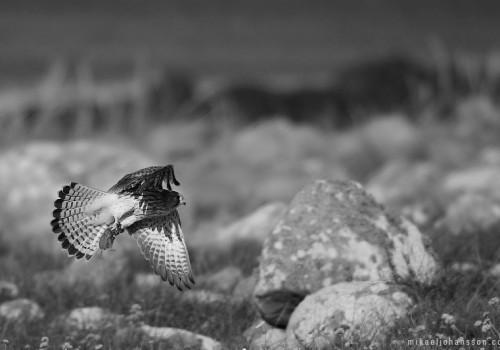Kestrel / Tornfalk / Falco tinnunculus