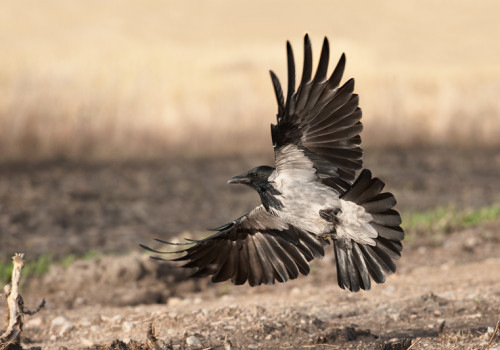 Hooded crow / Kråka / Corvus cornix