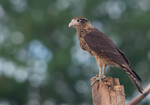 Yellow-headed caracara / Milvago chimachima