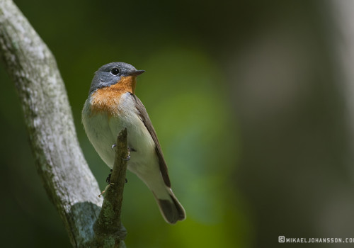 Red-breasted Flycatcher / Mindre flugsnappare / Ficedula parva