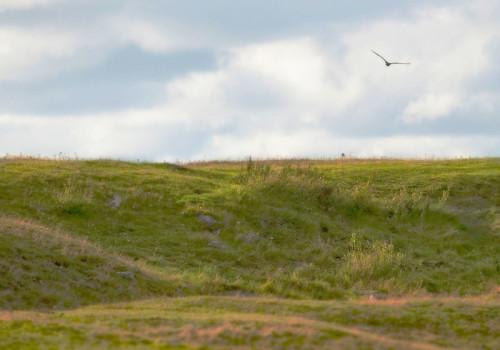Pallid Harrier / Stäpphök / Circus macrourus