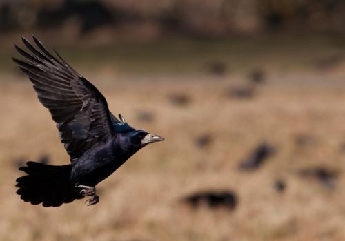 Rook / Råka / Corvus frugilegus