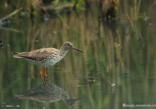 Common redshank / Rödbena / Tringa totanus