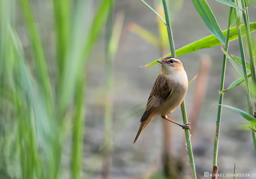 Sedge Warbler / Sävsångare / Acrocephalus schoenobaenus