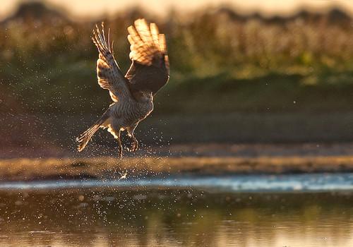 Sparrowhawk / Sparvhök / Accipiter nisus