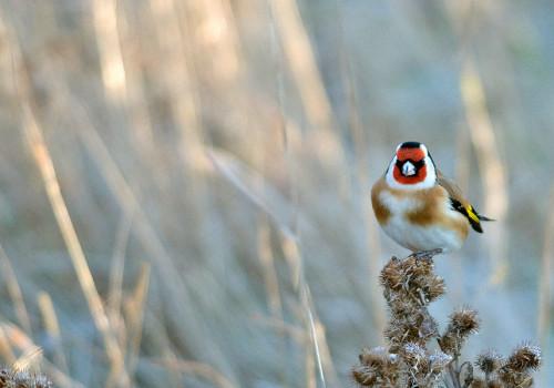European Goldfinch / Steglits / Carduelis carduelis