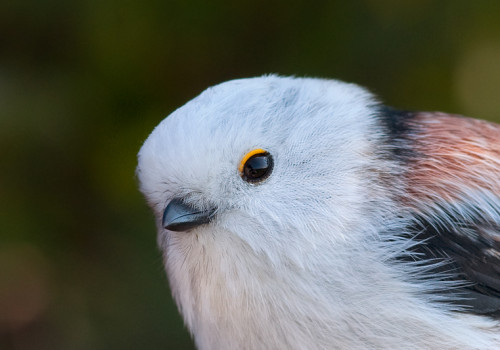 Long-tailed Tit / Stjärtmes / Aegithalos caudatus