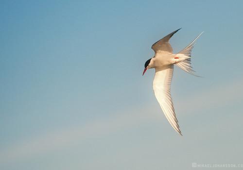 Arctic Tern / Silvertärna / Sterna paradisaea