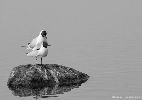 Black-headed Gull / Skrattmås / Larus ridibundus