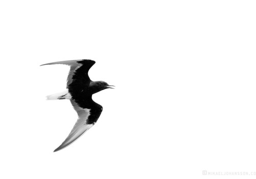 White-winged Black Tern / Vitvingad tärna / Chlidonias leucopterus