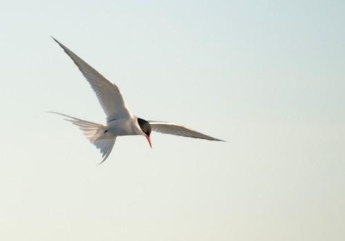 Common Tern / Fisktärna / Sterna hirunda