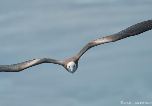 Magnificent frigatebird / Fregata magnificens