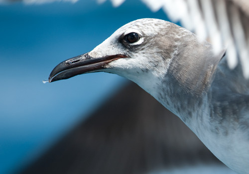 Laughing Gull / Sotvingad mås / Larus atricilla