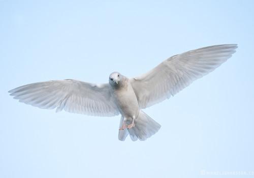 Kumlien´s Gull / Vitvingad trut / Larus glaucoides kumlieni