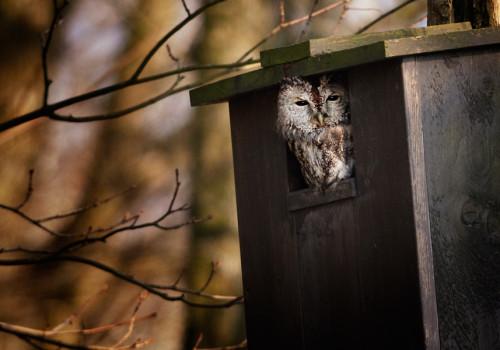 Tawny owl / Kattuggla / Strix aluco