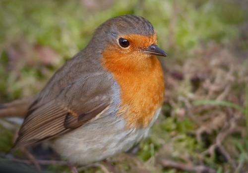 European robin / Rödhake / Erithacus rubecula