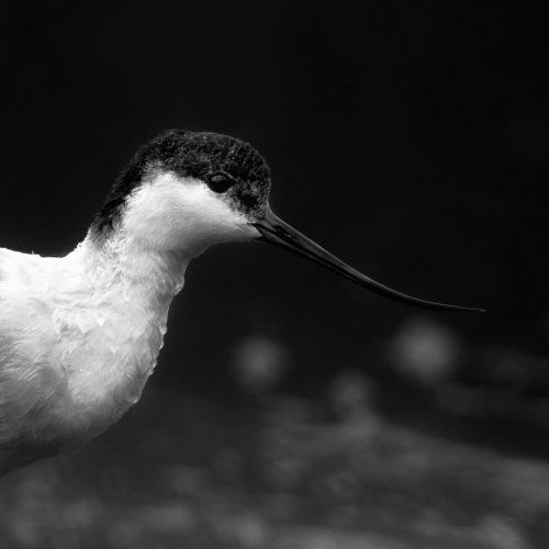 Pied Avocet / Skärfläcka / Recurvirostra avosetta