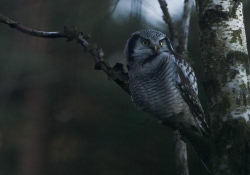 Northern Hawk Owl / Hökuggla / Surnia ulula