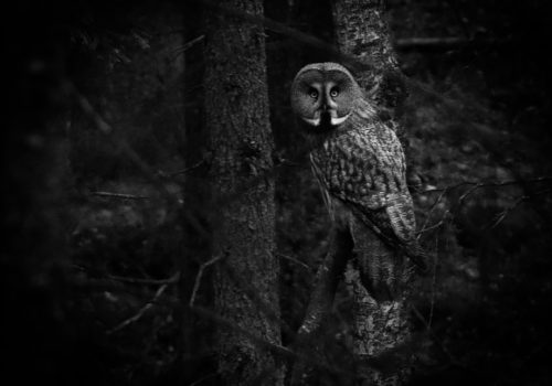 Great Grey Owl / Lappuggla / Strix nebulosa