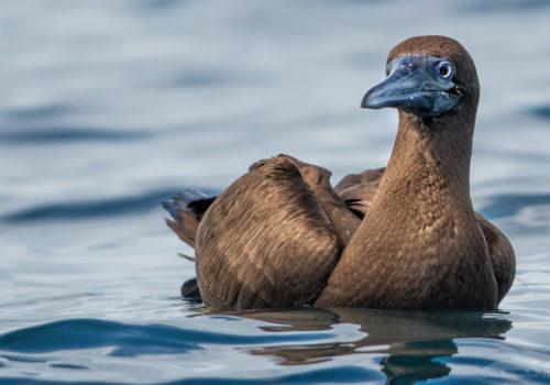 Brown booby | Sula leucogaste