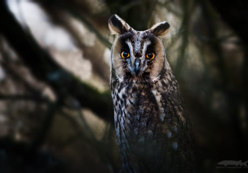 Long-eared owl | Hornuggla | Asio otus