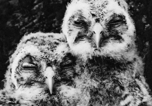 Tawny owl | Kattuggla | Strix aluco