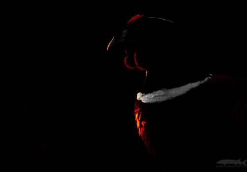 Common Pheasant / Phasianus colchicus