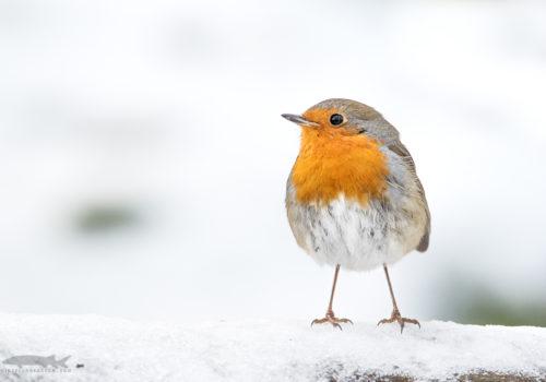 Robin | Rödhake | Erithacus rubecula