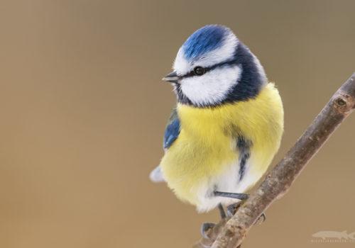 Blue tit | Blåmes | Cyanistes caeruleus